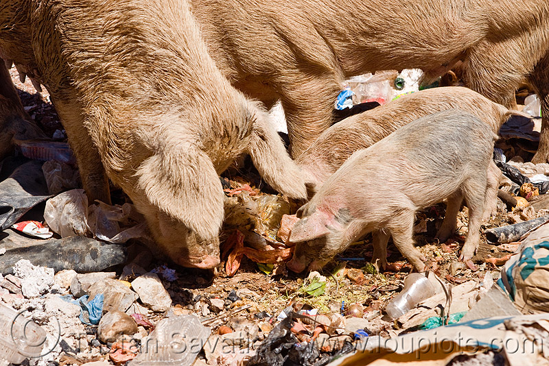 pigs foraging for food in a trash dump, bolivia, eating, foraging, garbage, piglets, pigs, plastic trash, single-use plastics, sucre, trash dump