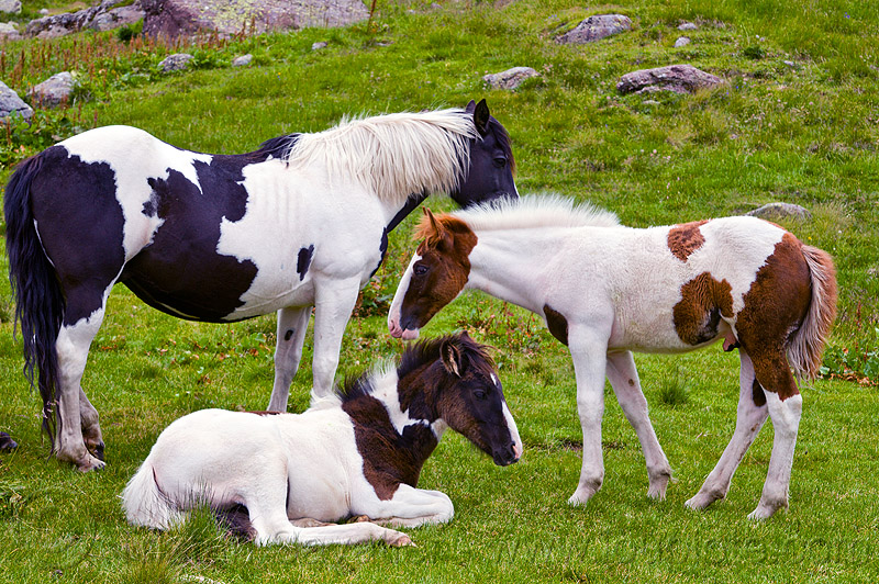 pinto horses - foals, baby horse, feral horses, field, foals, grassland, lying down, pinto coat, pinto horse, turf, white and black coat, white and brown coat, wild horses