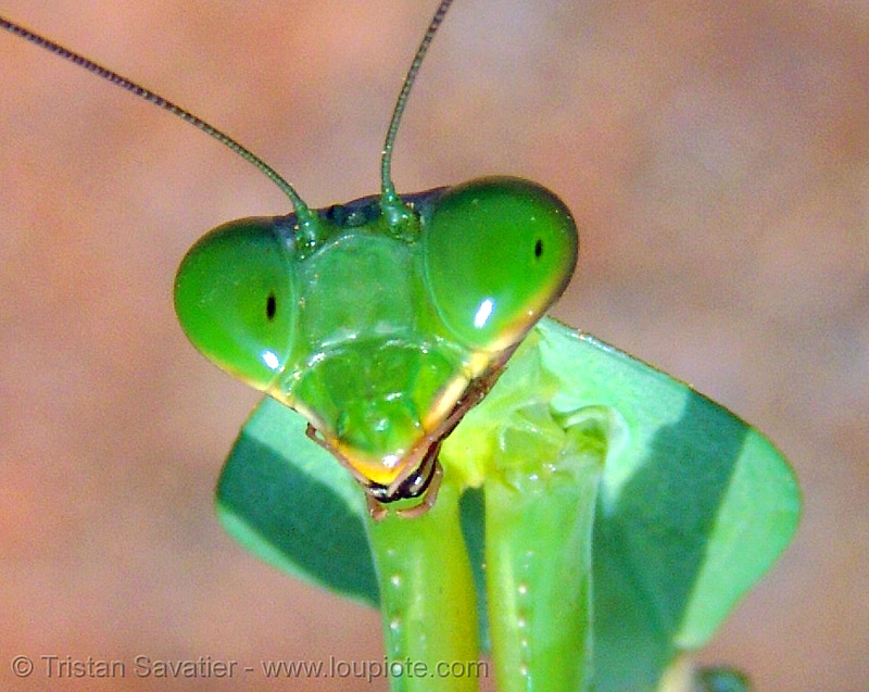 praying mantis head, close up, eyes, giant shield mantis, head, insect, mantis religiosa, mantodea, praying mantid, praying mantis, vietnam, wildlife