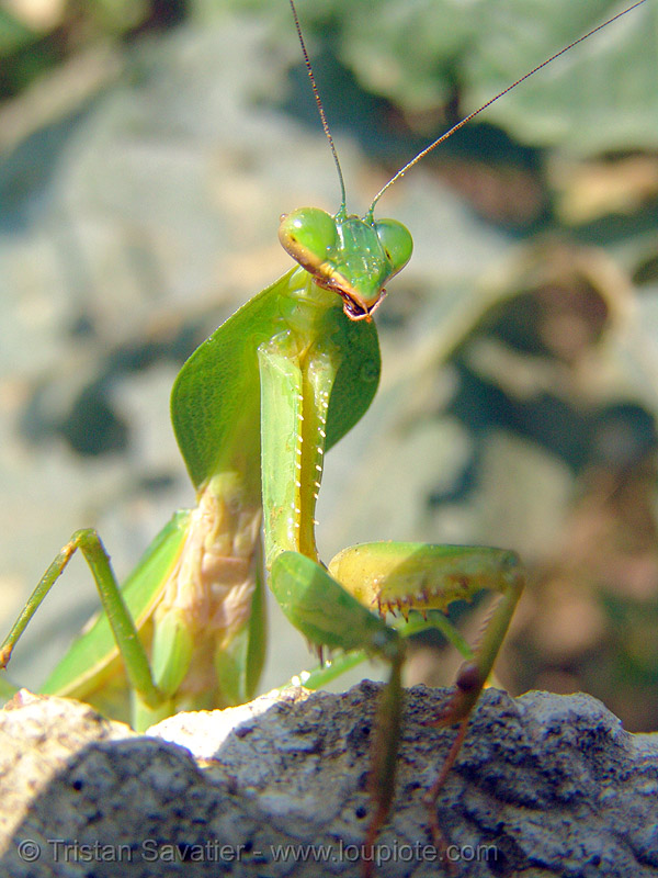 praying mantis over a rock, arthropoda, close up, giant shield mantis, green, insect, macro, mantidae, mantis religiosa, mantodea, praying mantid, praying mantis, wildlife