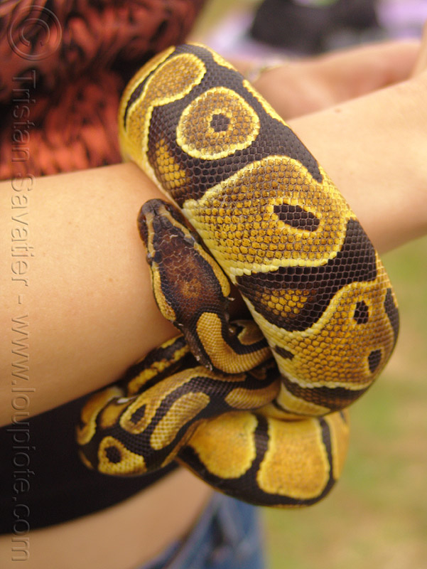 python snake pet, coiled, head, pet python, pet snake, reptile