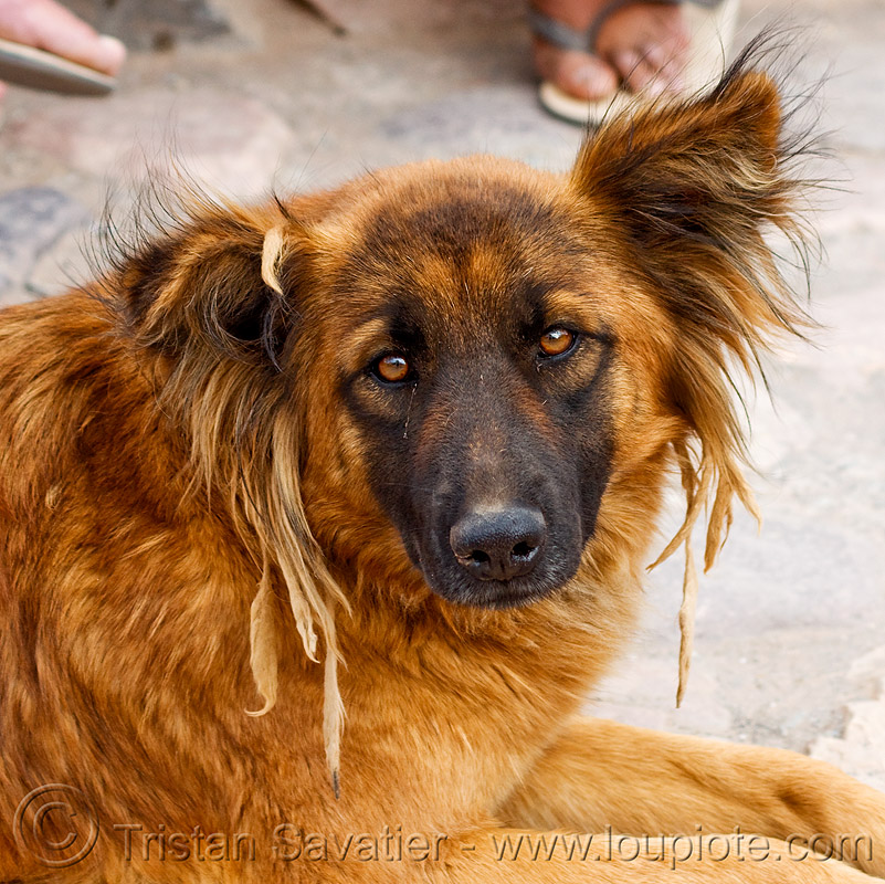 rasta dog with dreadlocks, dreads, fur, iruya, noroeste argentino, quebrada de humahuaca
