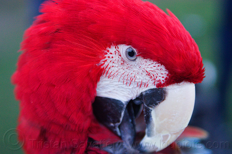 red-and-green macaw parrot head, ara chloropterus, beak, bird, dolores park, green-winged macao, head, macaw, parrot, psittacidae, red, wildlife