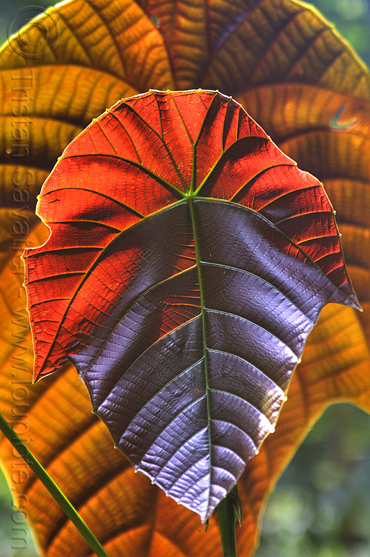 red leaf - macaranga, backlight, euphorbiaceae, glowing, gunung mulu, gunung mulu national park, jungle, leaf veins, leaves, plant, rain forest