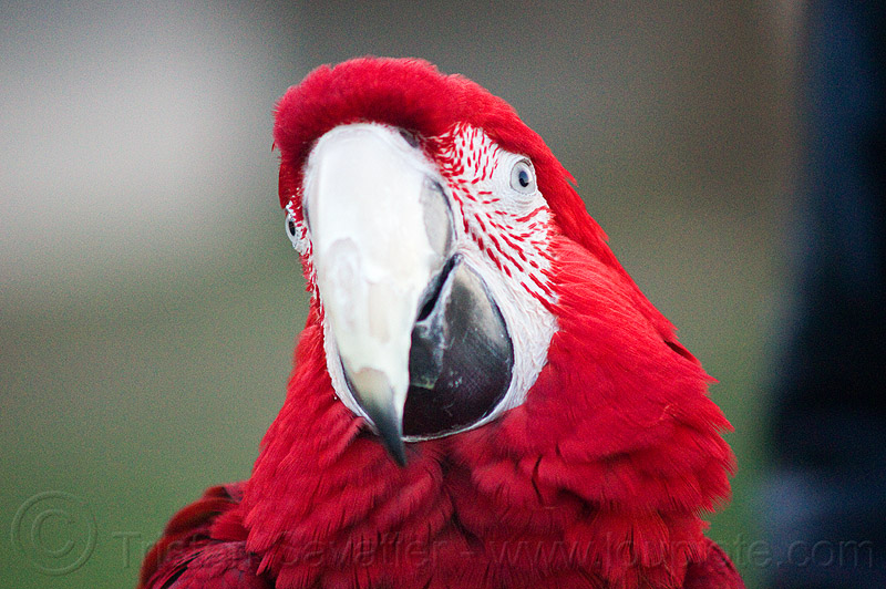red macaw parrot head, ara chloropterus, beak, bird, dolores park, green-winged macaw, psittacidae, red-and-green macaw, wildlife