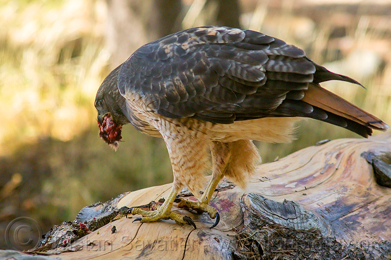 red-tailed hawk eating prey, bird of prey, buteo jamaicensis, california, carnivorous, eastern sierra, eating, fresh kill, raptor, red-tailed hawk, wild bird, wildlife