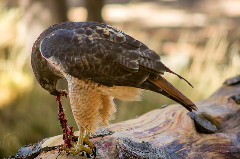 red-tailed hawk eating squirrel, bird, bird of prey, buteo, buteo jamaicensis, california, carnivorous, eastern sierra, fresh kill, raptor, wild bird, wildlife