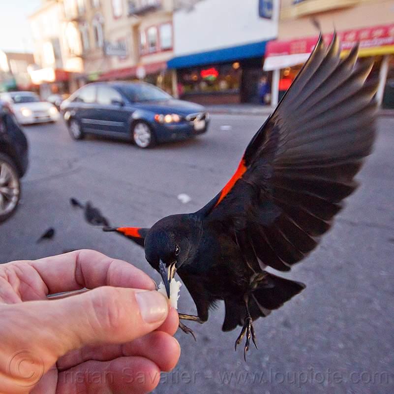 red-winged bicolored blackbird eating from my hand, agelaius phoeniceus gubernator, bicolored blackbird, black bird, bread crumb, eating, feeding, flying, hand, red-winged blackbird, street, urban wildlife, wild bird, wings