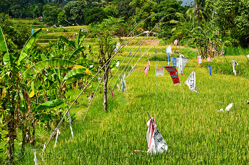 rice field with scarecrow, bali, bamboo, indonesia, lines, polls, rice paddies, rice paddy fields, scarecrow, terrace farming, terraced fields, wires