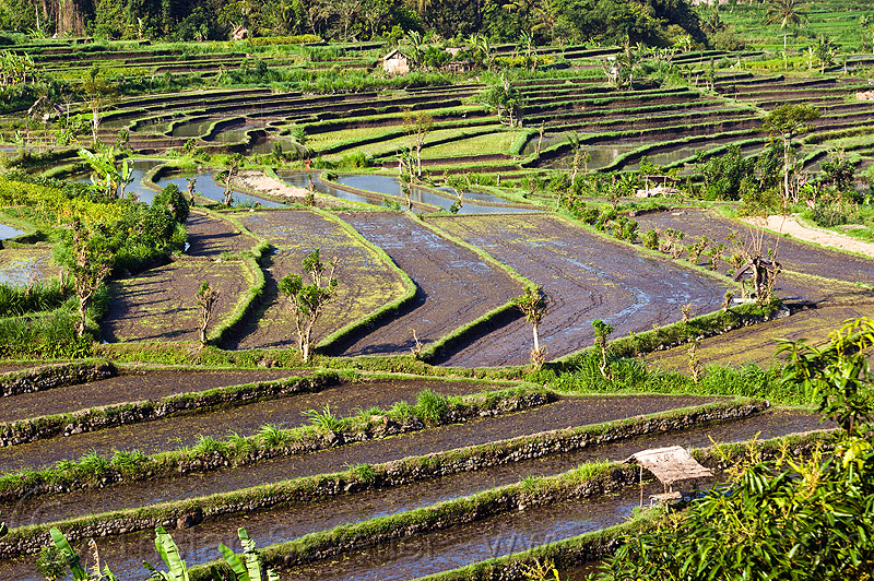 rice fields in terraces (bali), agriculture, bali, indonesia, rice paddies, rice paddy fields, terrace farming, terraced fields