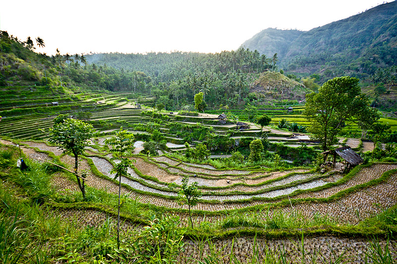 rice paddy fields, agriculture, bali, rice fields, rice paddy fields, terrace farming