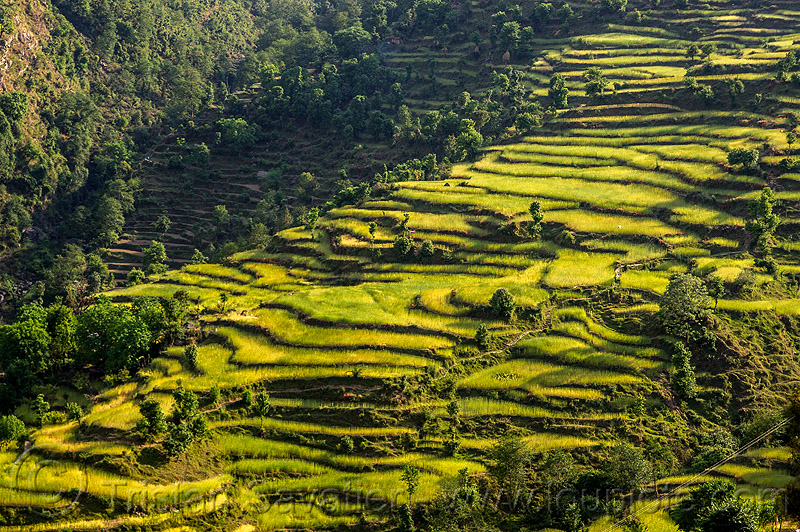 rice paddy terraces (india), agriculture, india, pindar valley, rice paddies, rice paddy fields, slope, terrace farming, terraced fields
