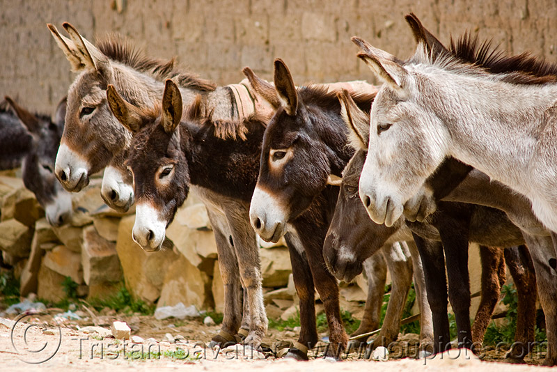 donkeys, asinus, donkeys, equus, heads, row, tarabuco, working animals