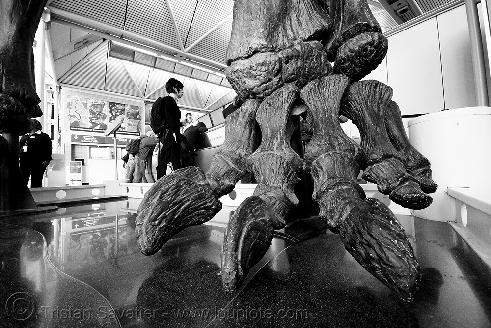 sauropod dinosaur skeleton - foot - chicago O'hare international airport, airport, altithorax, bones, brachiosaurus, chicago, dinosaur, fingers, foot, fossil, o'hare, ord, sauropod, skeleton