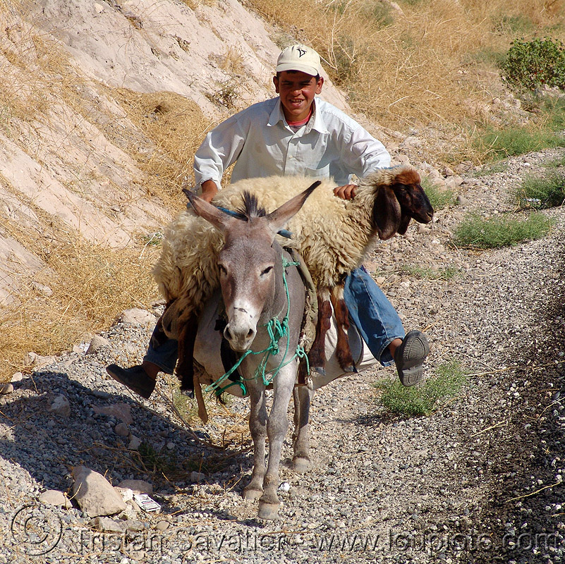 shepherd with injured sheep on donkey, asinus, donkey, equus, kurdistan, man, riding, sheep, shepherd, working animal