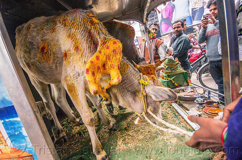 six legged cow (india), baby cow, calf, cellphone, holy cow, men, mobile phone, offerings, painted, polymelia, taking photos, varanasi
