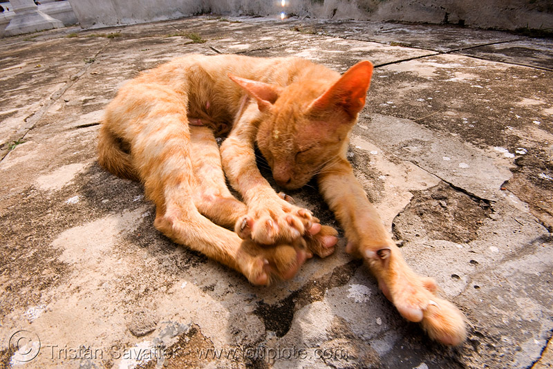 skinny stray cat stretching, ears, ginger cat, kitten, laos, luang prabang, paws, skinny, stray cat, stretching, tabby cat