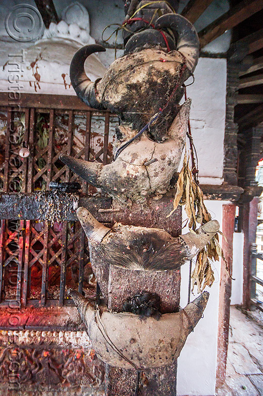 skulls of sacrificed water buffaloes at temple (nepal), bones, dakshinkali temple, hindu temple, hinduism, offerings, sacrifice, skulls