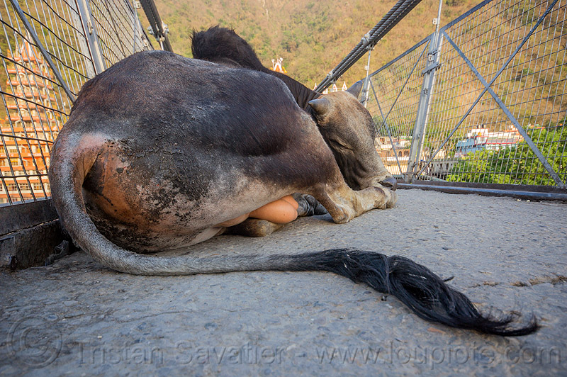 sleeping bull (india), india, laxman jhula bridge, lying down, rishikesh, sleeping bull, street cow, tail