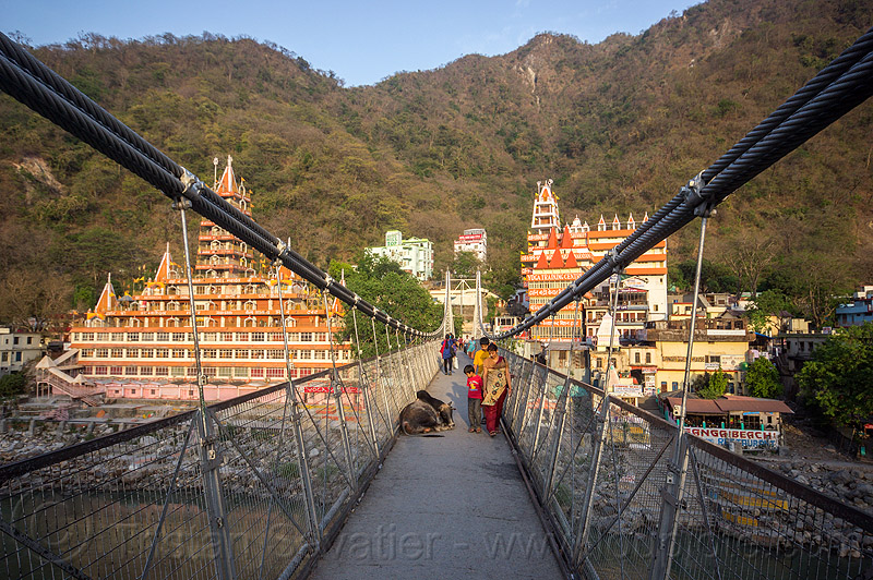 sleeping bull on laxman jhula bridge (india), ashrams, cables, cow, ganga, ganga river, ganges, ganges river, lakshman jhula, lakshman jhula bridge, people, rishikesh, street cow, suspension bridge, water