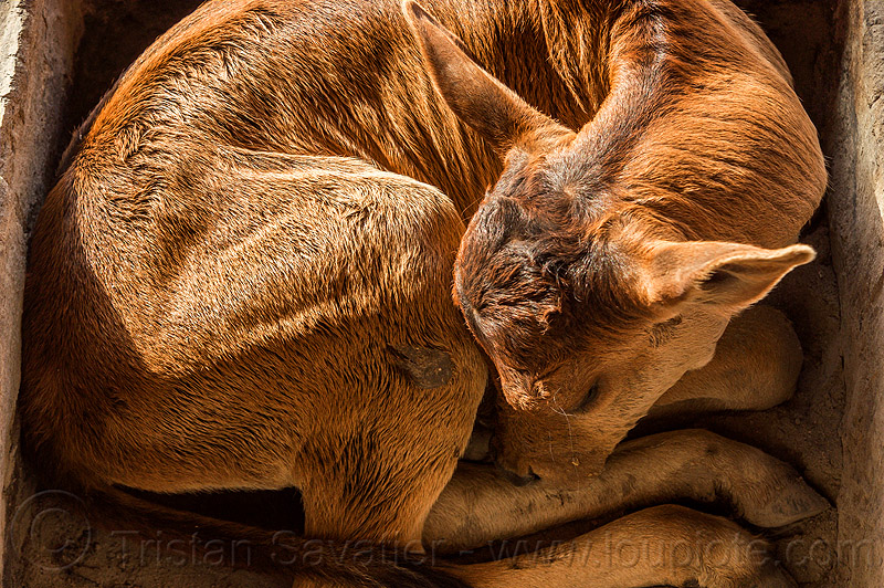 small calf sleeping - curled-up, baby cow, calf, curled-up, rishikesh, sleeping