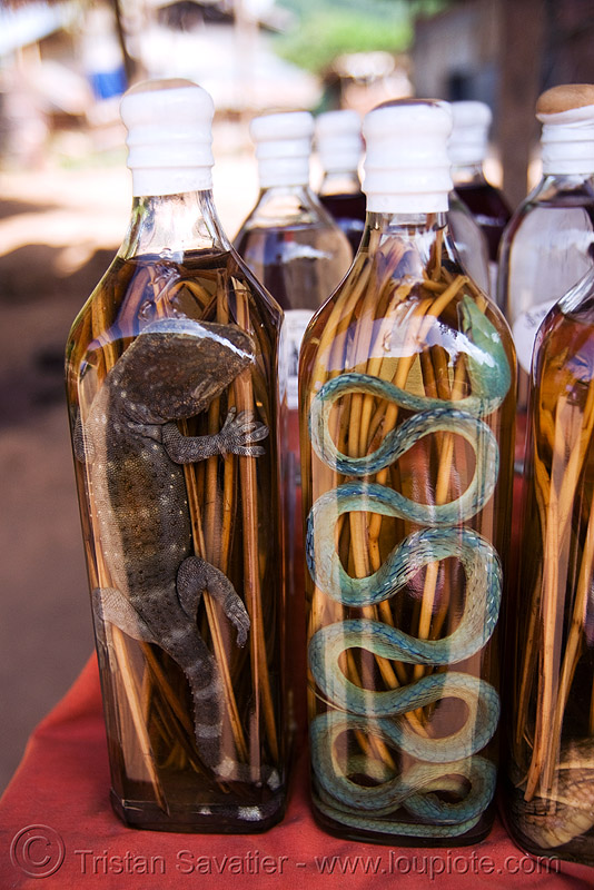 snake wine - tokay gecko and snake in lao-lao bottles (rice alcohol) - laos, ahaetulla nasuta, ahaetulla prasina, alcohol, gekko gecko, green tree snake, lao-lao, laos, liquor, luang prabang, pak ou caves temples, rice wine, tokay gecko, vodka, whisky village, wildlife