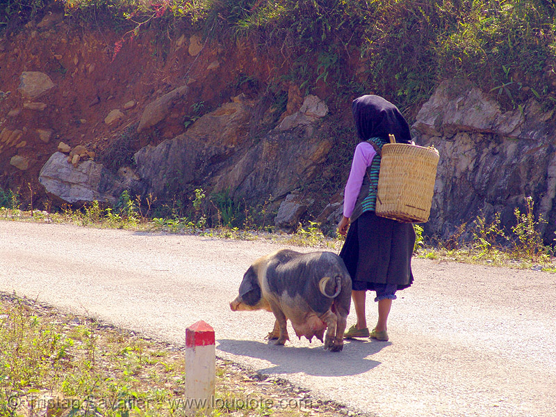 sow - miao  tribe woman with her pig on the road - vietnam, asian woman, hill tribes, indigenous, mature woman, miao tribe, mèo vạc, old, pig, sow