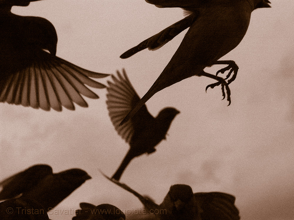 sparrows flying, backlight, claws, feathers, feet, flying, moineau, moineaux, moving, paris, piafs, sepia, sparrows, sépia, wild birds, wildlife, wings