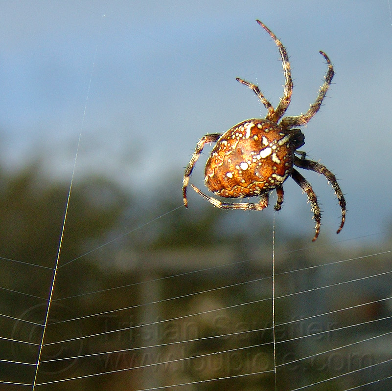spider building its web, araneidae, araneus diadematus, european garden spider, female, macro, spider web, wildlife