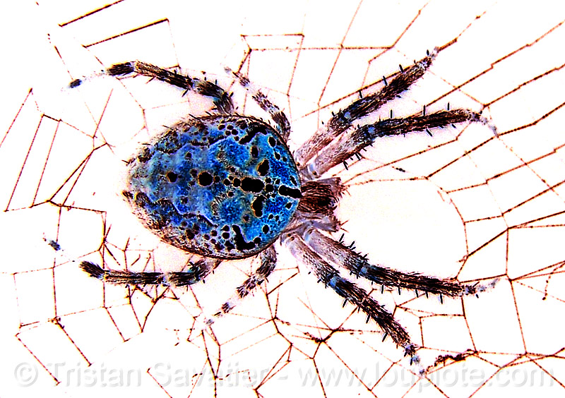 spider (san francisco), araneidae, araneus diadematus, blue, cross spider, european garden spider, female, flash, macro, negative image, night, spider web, wildlife