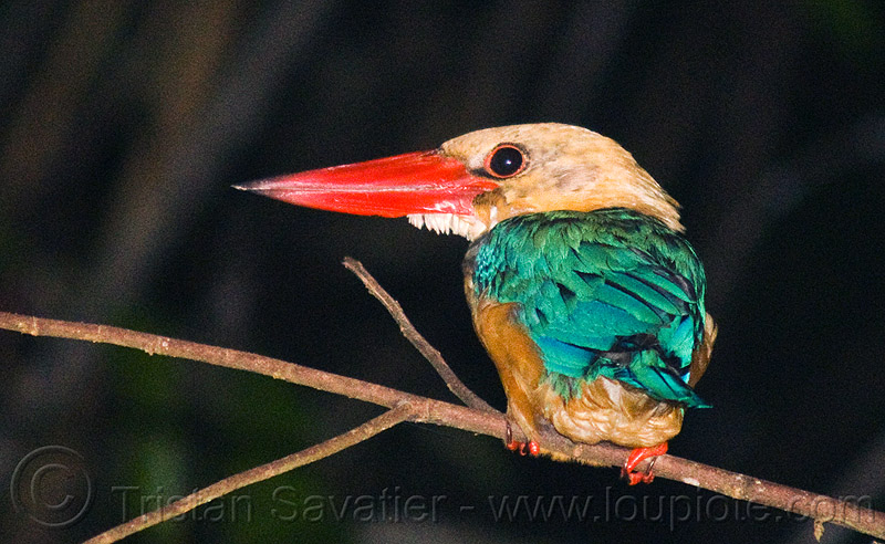 stork-billed kingfisher bird, borneo, branch, kinabatangan river, kingfisher, malaysia, night, pelargopsis capensis, sukau, wild bird, wildlife