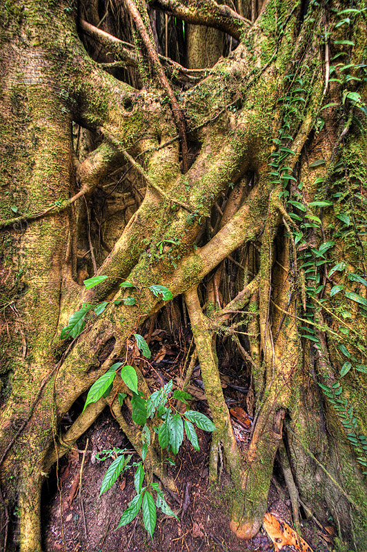 strangler fig tree - ficus, climbing plants, creeper, creeper plants, gunung mulu, gunung mulu national park, jungle, rain forest, roots, tree roots, tree trunk