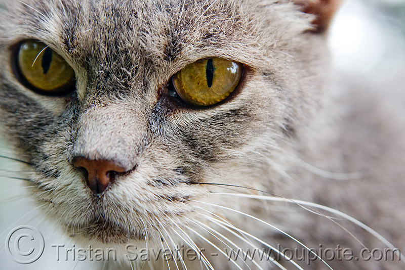 stray cat - recoleta cemetery (buenos aires), graveyard, gray, grey, whiskers