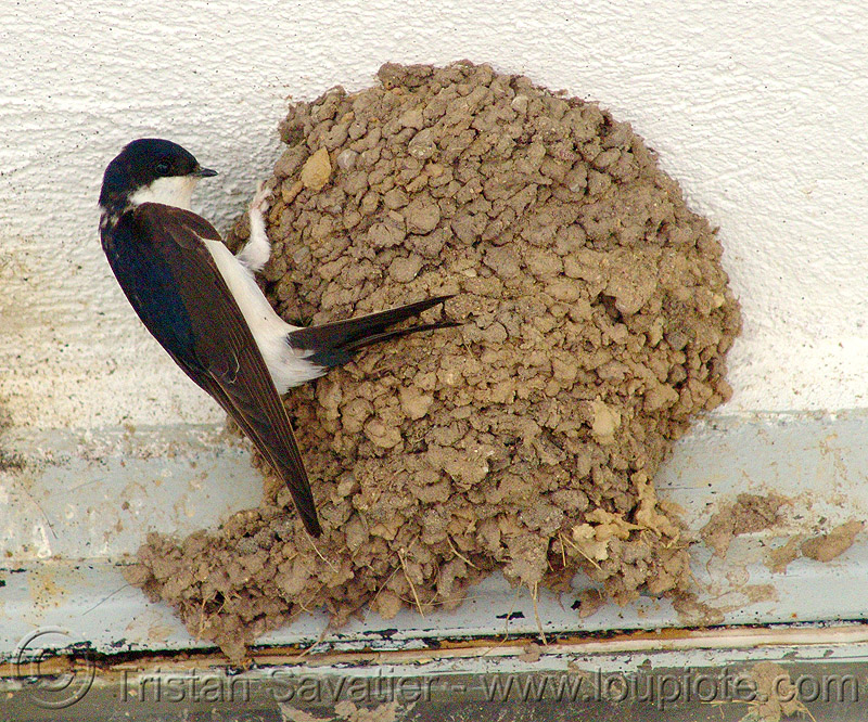 swallow bird and nest, nest, swallow, wild bird, wildlife, българия