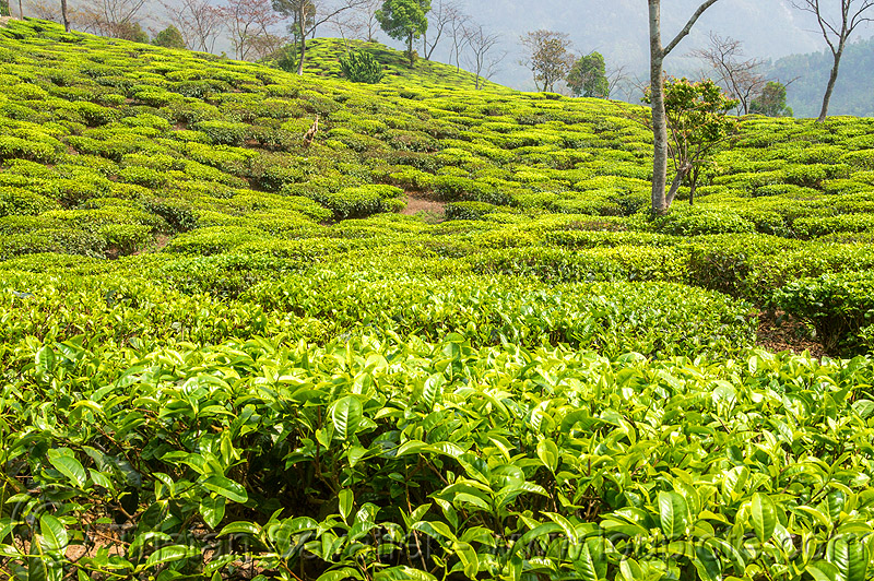 tea plantation - tea bushes (india), agriculture, farming, hill, india, tea leaves, tea plantation, west bengal