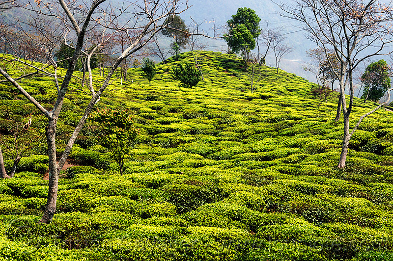 tea plantation on hill (india), agriculture, farming, trees, west bengal