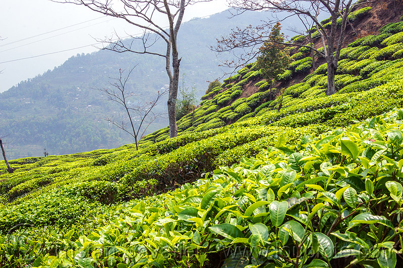 tea plantation on hilly terrain near darjeeling (india), agriculture, farming, hill, tea leaves, tea plantation, west bengal