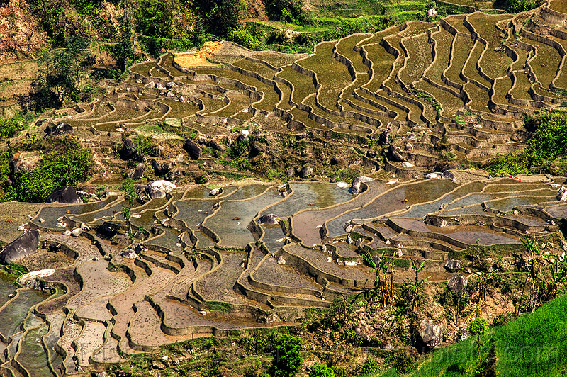 terrace farming - paddy fields (nepal), agriculture, paddy fields, rice fields, terrace farming, terrace fields