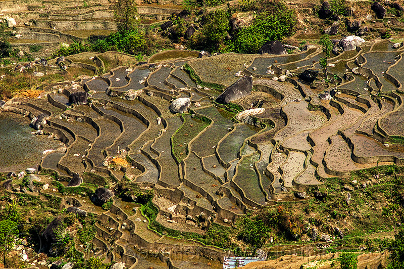 terrace farming - paddy fields (nepal), agriculture, rice paddies, rice paddy fields, terrace farming, terraced fields