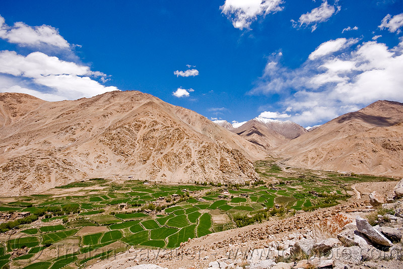 terrace fields, upper chemrey valley - road to pangong lake - ladakh (india), chemrey valley, green, ladakh, mountains, rice paddy fields, terrace farming