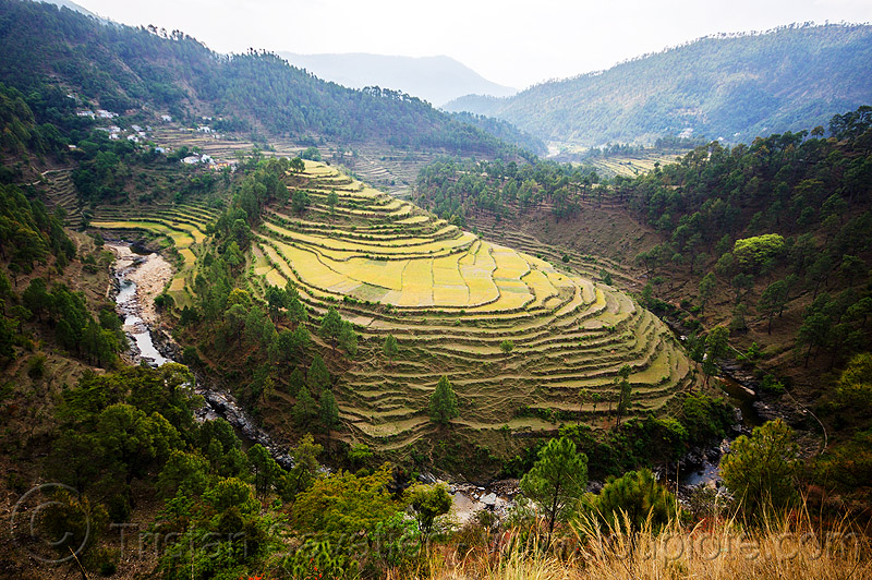 terraced rice fields in a river bend (india), agriculture, bend, forest, rice fields, rice paddy fields, river, terrace farming, terrace fields, valley, village, water