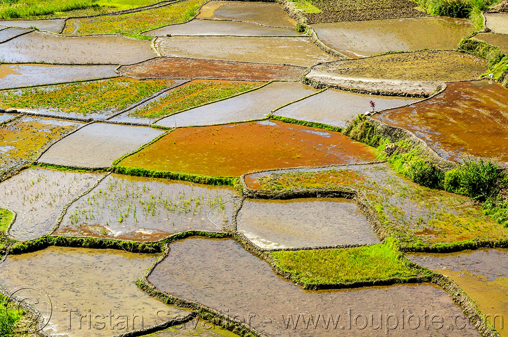 terraced rice fields near sagada (philippines), agriculture, flooded, philippines, rice paddies, rice paddy fields, sagada, terrace farming, terraced fields, valley