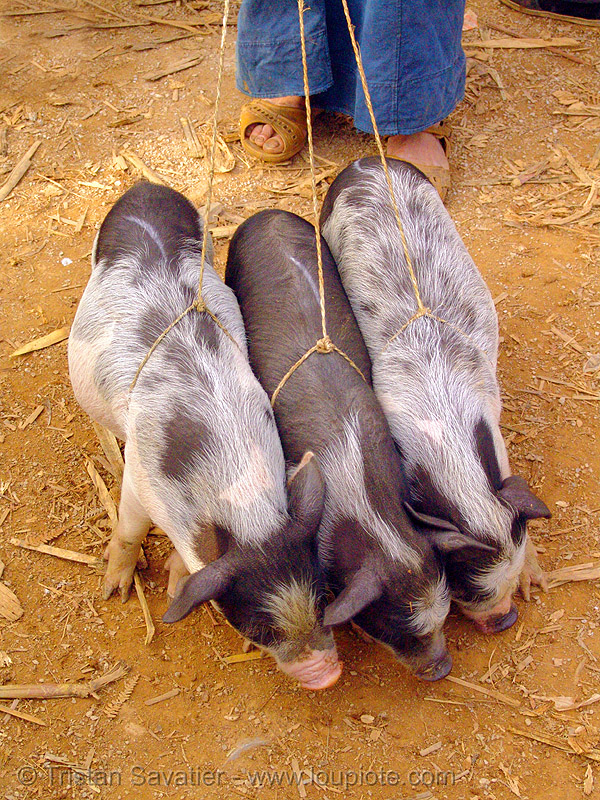 three piglets at the market - vietnam, market, mèo vạc, piglets, pigs, small, three