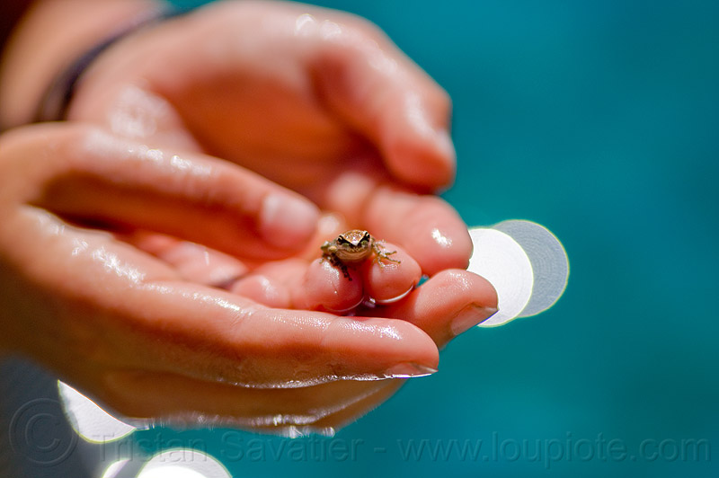 baby frog, amphibian, baby frog, hands, holding, spring training, tiny, wildlife