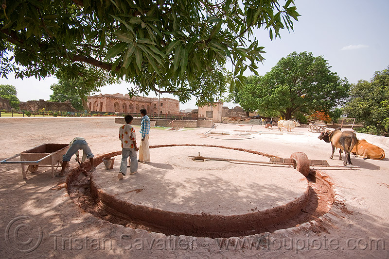 traditional mortar mixing with oxes - mandu (india), circle, cows, india, mandav, mandu, mortar, oxes