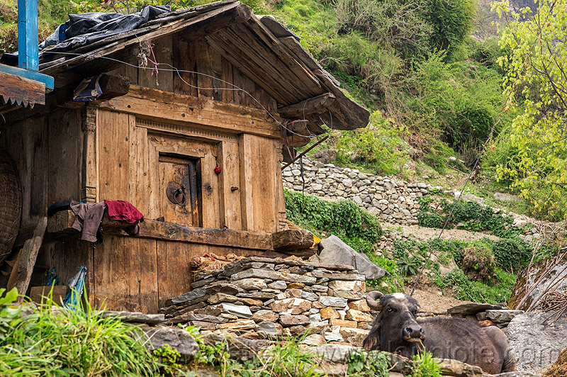 traditional wooden house in himalayan village (india), cabin, cow, house, janki chatti, village, water buffalo, wooden