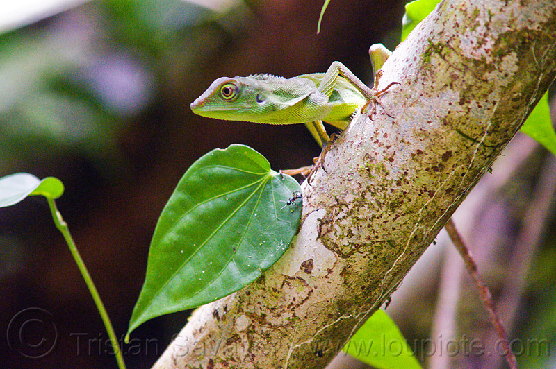 tree lizard - green crested lizard, bronchocela cristatella, green crested lizard, green tree lizard, gunung mulu national park, jungle, rain forest, reptile, wildlife