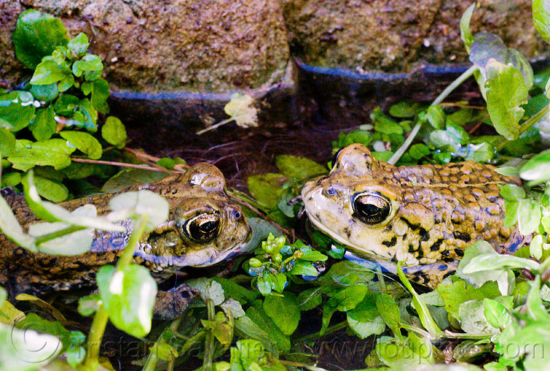 true love - california toads staring at each other, amphibian, anaxyrus boreas halophilus, california toads, darwin falls, death valley, mating, pond, western toads, wildlife