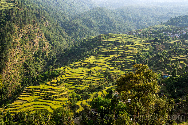valley slope with terraced rice fields (india), agriculture, india, pindar valley, rice paddies, rice paddy fields, slope, terrace farming, terraced fields
