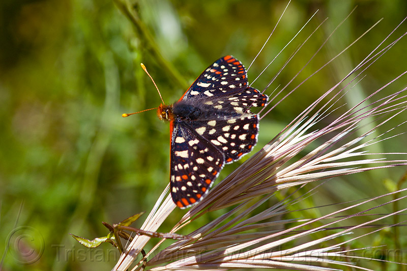 variable checkerspot butterfly (vantana wilderness), big sur, chalcedon checkerspot, checkerspot butterfly, euphydryas chalcedona, hiking, insect, pine ridge trail, trekking, vantana wilderness, wildlife